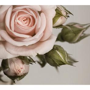 Роза в фокусе