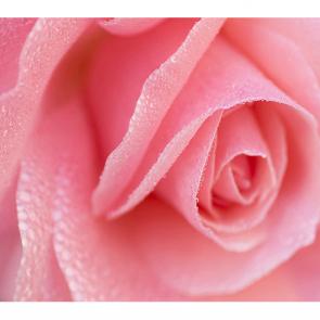 Розовая роза 2