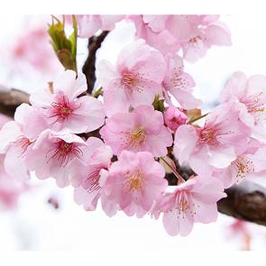 Розовая сакура 2