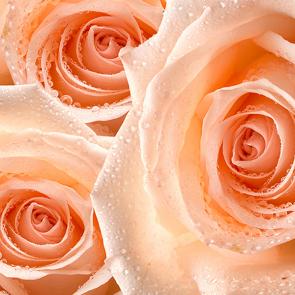 Розы и капли