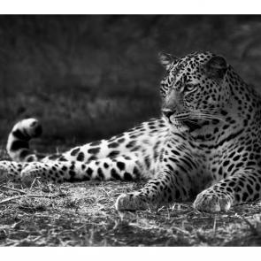 Леопард 5742