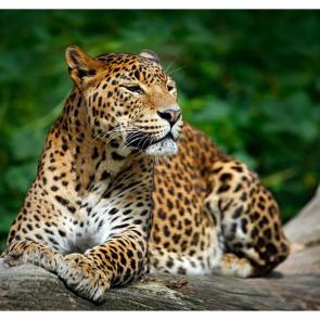 Леопард 5743