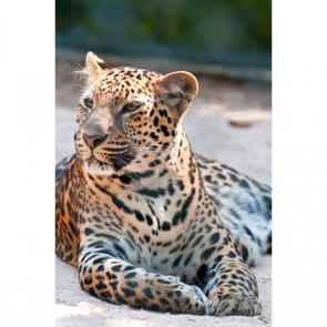 Леопард 5748