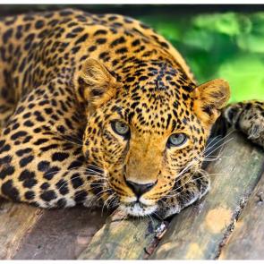 Леопард 5750