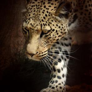 Леопард 5751
