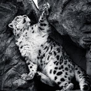 Леопард 5752