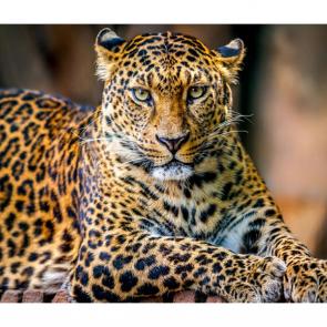 Леопард 5755