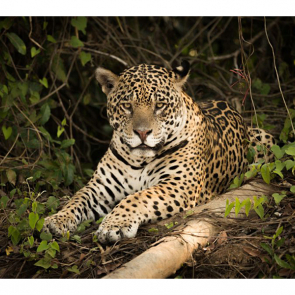 Леопард 5756