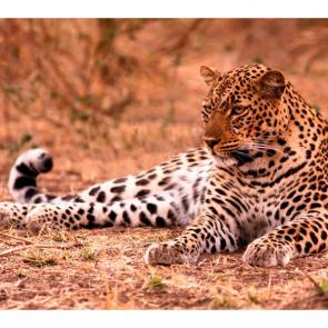 Леопард 5757