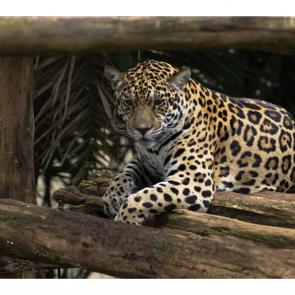 Леопард 5759