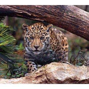Леопард 5741