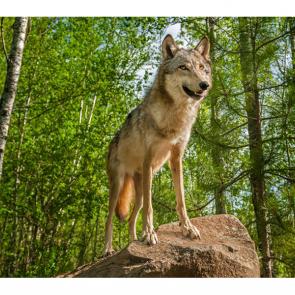 Волк 5731