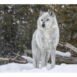 Волк 5732