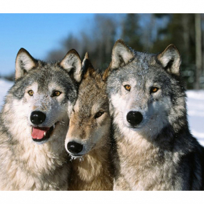 Волк 5733