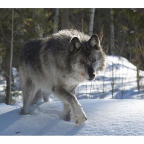 Волк 5734