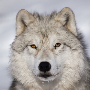 Волк 5735