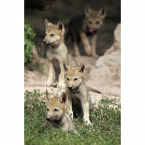 Волк 5736