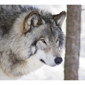 Волк 5737