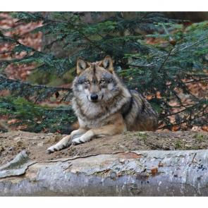 Волк 5738