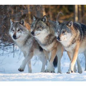 Волк 5739