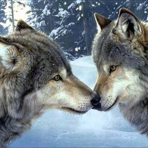 Волк 5729