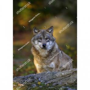 Волк 5740