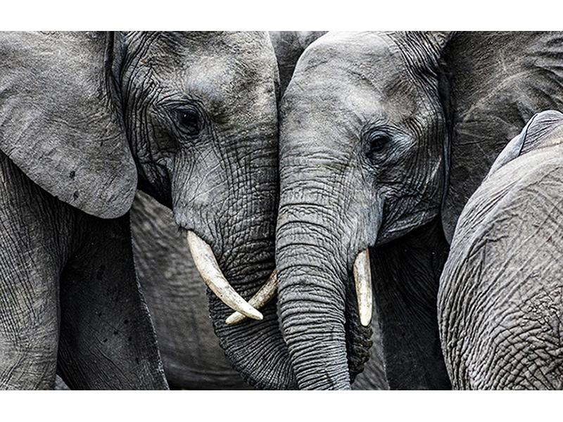 Слоны 3 2471