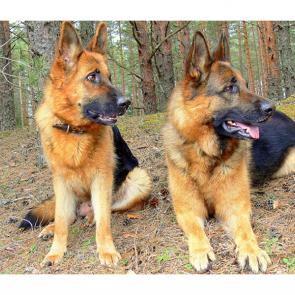 Собаки 5790