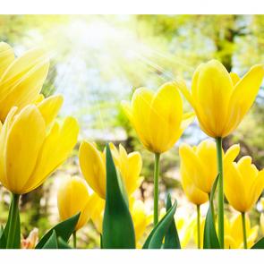 Солнечные тюльпаны