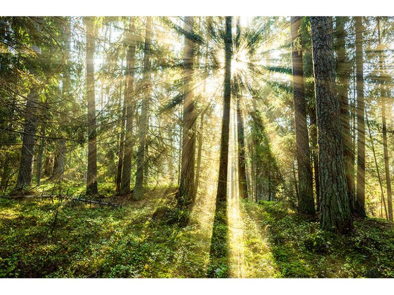 Солнечный лес 1158