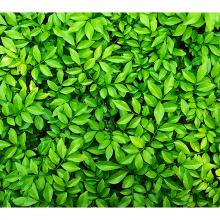Стена из листьев
