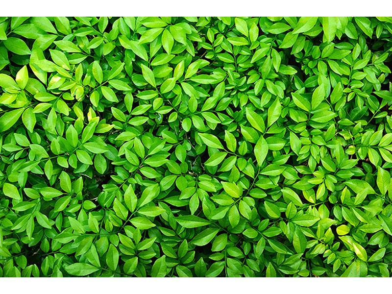 Стена из листьев 1140