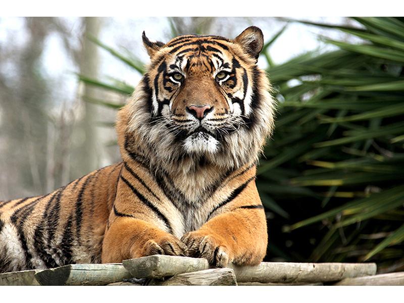 Тигр 2 2453