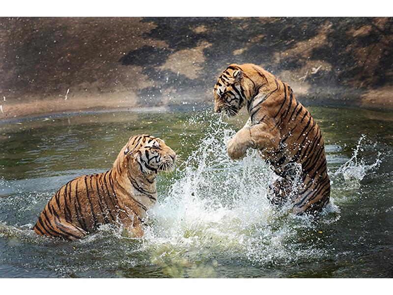 Тигры 2456