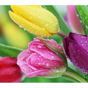 Тюльпаны 2