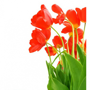 Тюльпаны 00934