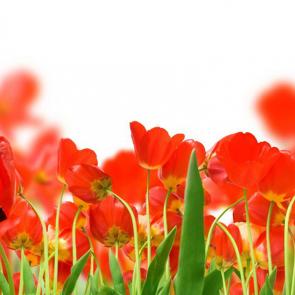 Тюльпаны 00935