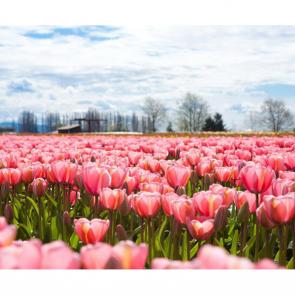 Тюльпаны 00958