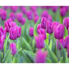 Тюльпаны 01129