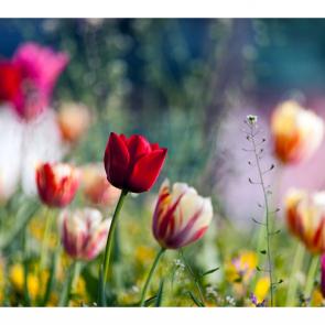 Тюльпаны 01178