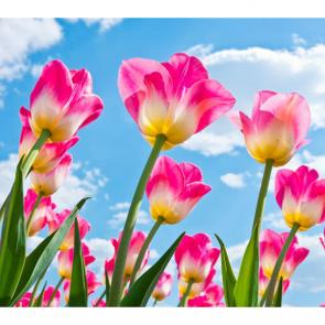 Тюльпаны 08062