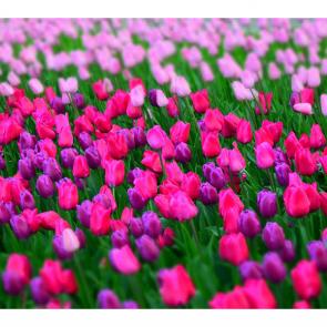 Тюльпаны 16278