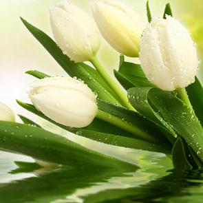 Тюльпаны над водой