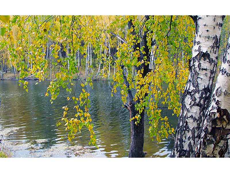 Березы у реки 1105