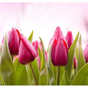 Утренние тюльпаны