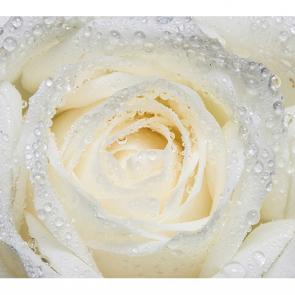 Утренняя роза