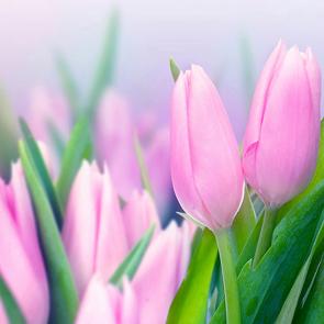 Весенние тюльпаны розовые