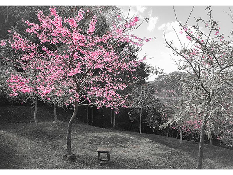 Вишневое дерево 2556