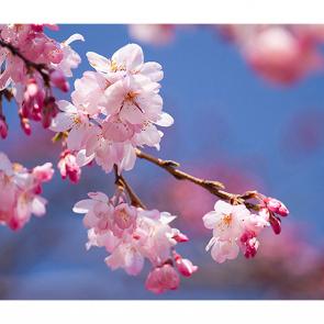 Вишня в цветении