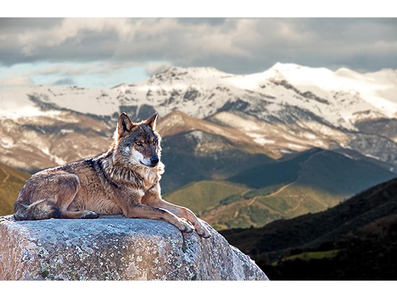 Волк 2394
